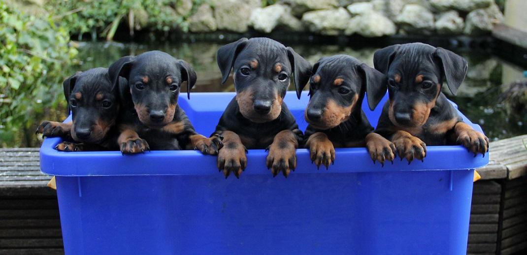 Puppies 6 weken groepsfoto